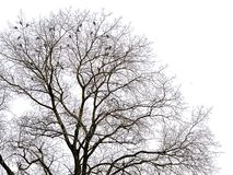 Crown of a bare maple tree in winter with wild pigeons sitting on it`s branches, isolated on white. Crown of a bare maple tree in winter with wild pigeons royalty free stock photo