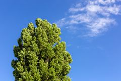 Crown of big green tree against clear blue sky on bright sunny day. Ecology and environment protection stock image