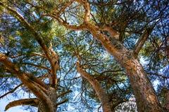 Crown of big pine. Backgroundn stock photos