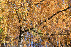 Crown of the birch in autumn Stock Images