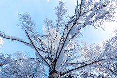 Crown of birch tree with snow-covered branches in the winter forest against the blue sky, bottom view royalty free stock photo