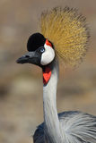 Crown bird Royalty Free Stock Photography