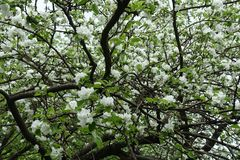 Crown of blossoming apple in spring orchard royalty free stock photos