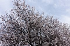 Crown of blossoming apricot against the sky royalty free stock photo
