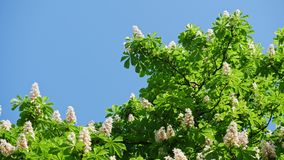 A crown of a blossoming chestnut tree on a sunny day with flowers and green leaves. Shot in 10bit 422. A chestnut leaf tree, completely illuminated by the sun stock footage