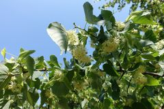 Crown of blossoming linden tree against blue sky stock images