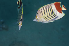 Crown butterflyfish (chaetodon paucifasciatus) Royalty Free Stock Photography