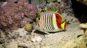 Crown Butterflyfish Stock Photo