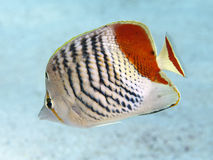 Crown butterflyfish Royalty Free Stock Photography