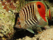 Crown butterflyfish Stock Images