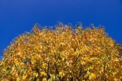 Crown of a cherry tree in the autumn wind Royalty Free Stock Photos