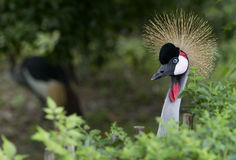 Crown crane Royalty Free Stock Photos
