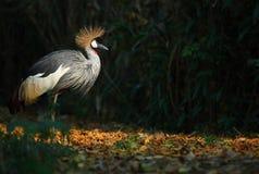 Crown crane. A crown crane in beijing zoo stock photo