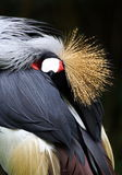 Crown crane. A crown crane in beijing zoo royalty free stock photography