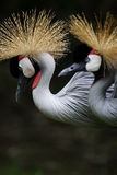 Crown crane Royalty Free Stock Image