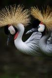 Crown crane. A crown crane in beijing zoo royalty free stock image