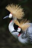 Crown crane Stock Photo