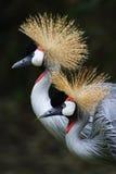 Crown crane. In beijing zoo stock photo