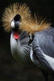 Crown crane. In beijing zoo royalty free stock photos