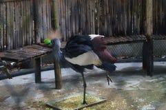 Crown crane Stock Images
