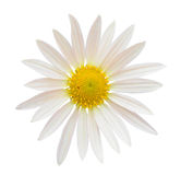 Crown Daisy Stock Image