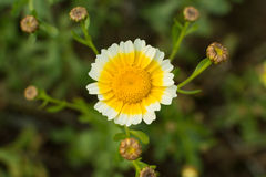 Crown daisy flower and bud Royalty Free Stock Photos
