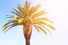 Crown of the date palm tree Royalty Free Stock Photo