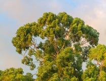 Crown of eucaliptus tree Royalty Free Stock Images
