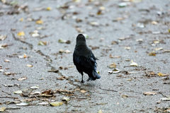Crown and fallen leaves. Crow walking away from the camega, following a crack in asphalt. Leaves fallen on the ground Stock Images