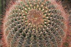 Crown of a Fishhook Barrel Cactus in Arizona royalty free stock photo