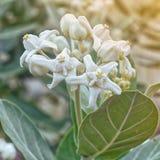 Crown flower blooming Stock Photo