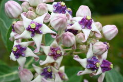 Crown Flower (Calotropis gigantea) Stock Image