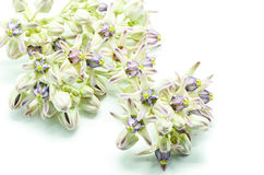 Crown Flower. Colorful white and purple flower, Crown Flower, Giant Indian Milkweed, Gigantic Swallowwort (Calotropis gigantea) isolated on a white background stock photo