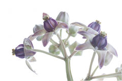 Crown Flower, Giant Indian Milkweed, Gigantic Swallow-wort.  Royalty Free Stock Images