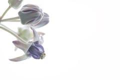 Crown Flower, Giant Indian Milkweed, Gigantic Swallow-wort.  Stock Photos