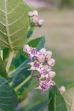 Crown flower, giant Indian milkweed, gigantic, swallowwort Royalty Free Stock Images