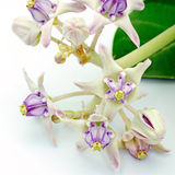 Crown Flower Stock Image