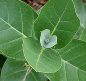 Crown flower plant. Leaves. top view green plant stock photos