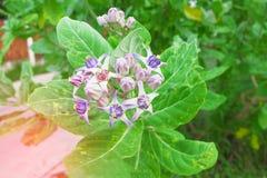 Crown Flower, Thai call Love flower.  Stock Photos