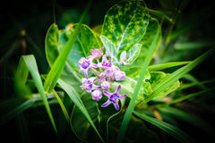 Crown Flower stock photography