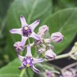 Crown flower violet color flower Stock Photos