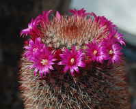 Crown of flowers on a prickly cactus Stock Images
