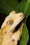 Crown Gecko Portait Stock Photos