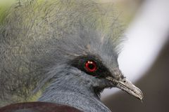 Crown goura pigeon. A closeup of a crown goura pigeon Royalty Free Stock Photography