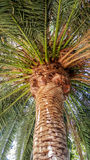 Crown of Guadalupe Island Palm Stock Images