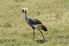 Crown-headed Crane II Stock Photo
