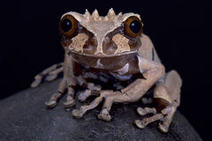 Crown headed tree frog, Anotheca spinosa Stock Photos