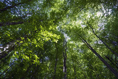 Crown of hornbeam in  forest.The view from bottom to  top. Royalty Free Stock Images