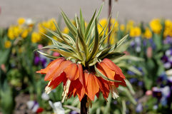 Crown imperial Stock Photo