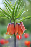 Crown imperial - detail Royalty Free Stock Images